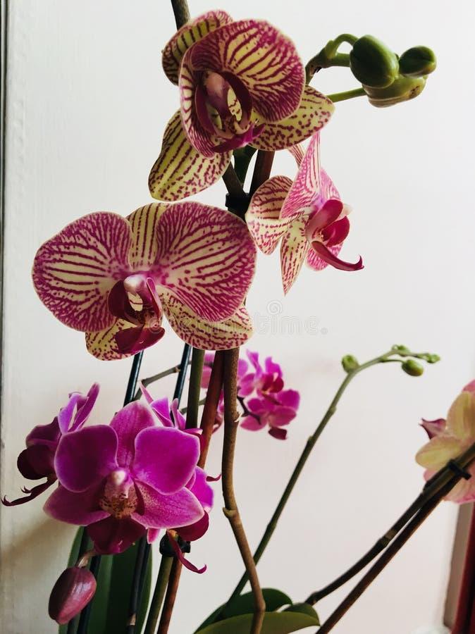 I så stolt ` M min härliga purpurfärgade orkidéblomma royaltyfri fotografi