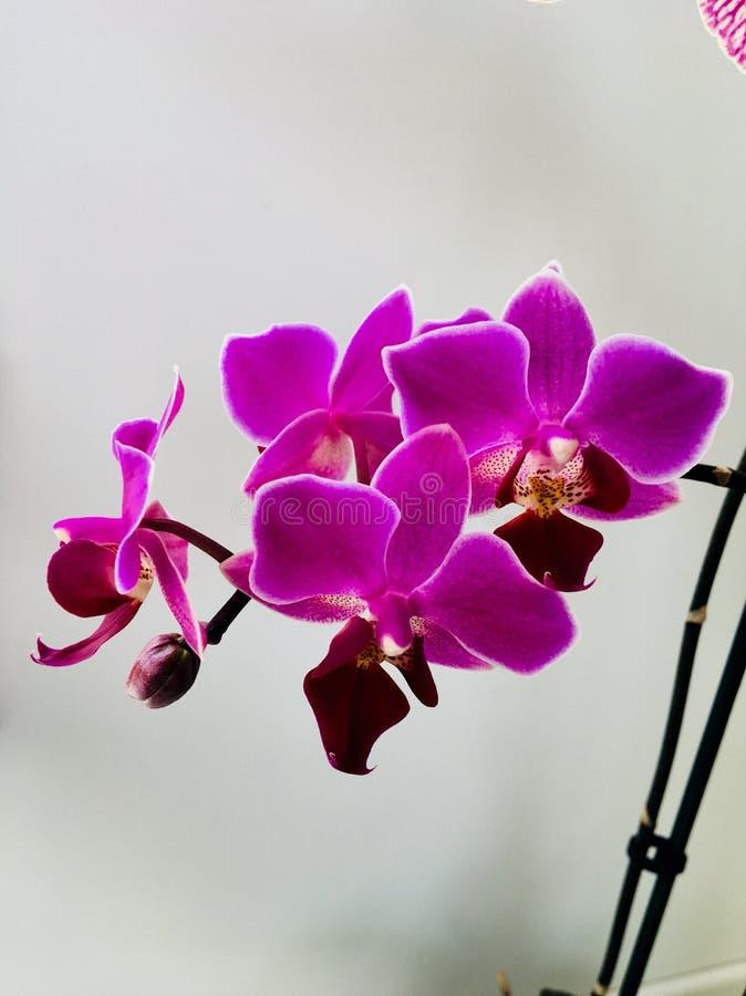 I så stolt ` M min härliga purpurfärgade orkidéblomma arkivbild
