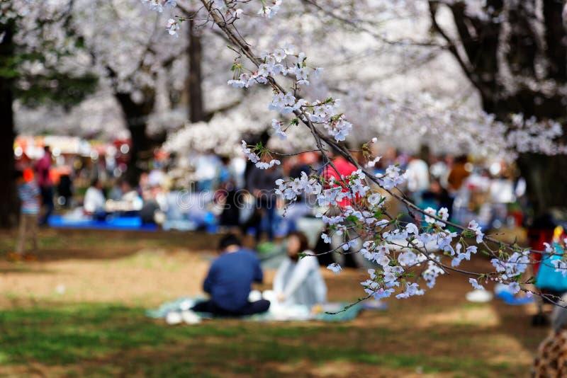 I Sakura Hanami har en populär fritidsaktivitet i våren, folk en picknick på den gräs- jordningen arkivbild