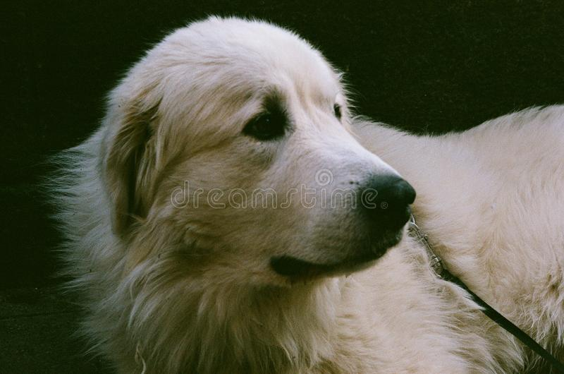 The pyrenean mountine dog portrait stock photography