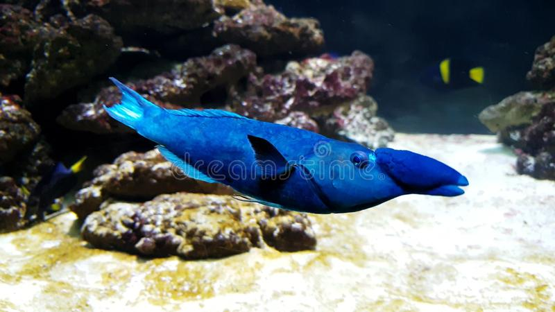 Blue & x27;whale-penguin& x27; fish. I saw this tiny blue & x27;penguin& x27; fish in an aquarium stock images