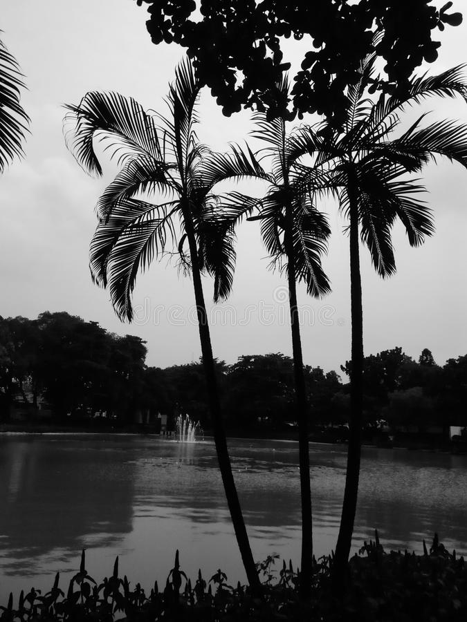 Coconut Tree. I see three coconut tree in a park. In front tree we can see lake. That its good picture so i take it. Maybe you can see to and intresting to use royalty free stock photography