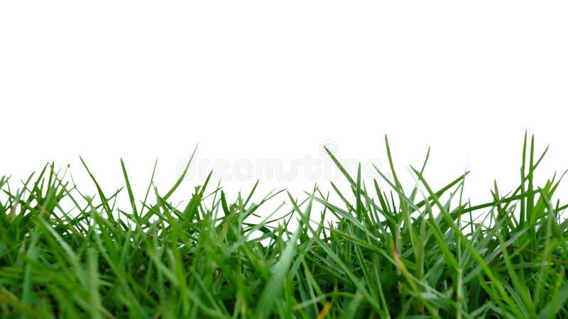 I selektiv fokus av ett löst gräs för rad som växer i en trädgård på vit isolerad bakgrund royaltyfri bild