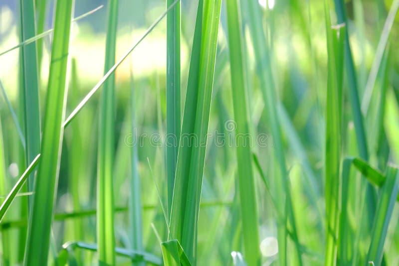 I selektiv fokus av vattengräs lämnar växten att växa i ett träsk med varm solljus och naturbakgrund royaltyfri foto