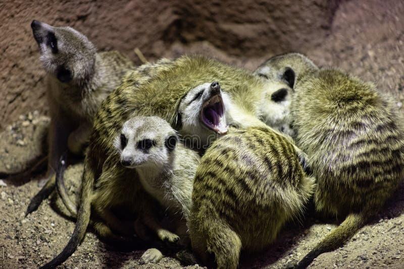 I semi come pure gli insetti del Suricata di Meerkat, anche conosciuti come i meerkats stanno dormendo insieme in un mucchio, gli fotografie stock libere da diritti