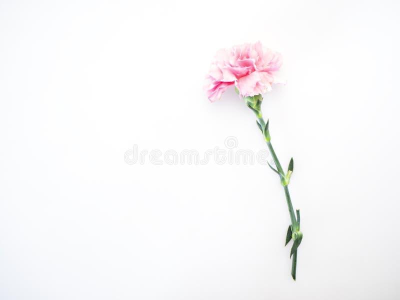 I singoli garofani rosa fioriscono su bianco fotografia stock