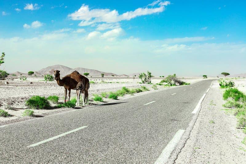I supporti svegli, selvaggi, one-humped del cammello lungo la strada nel deserto marocchino immagine stock
