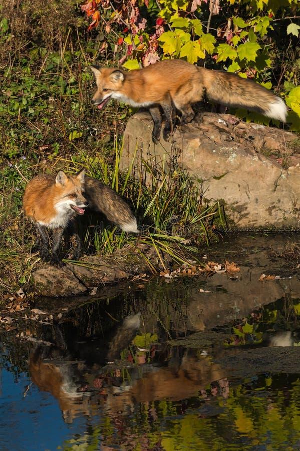 I supporti uno di vulpes di vulpes di Fox rosso dietro salta giù la roccia fotografie stock