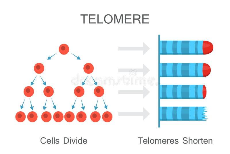 I telomeri accorciano con il diagramma dell'età illustrazione di stock