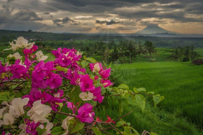 I terrazzi del riso di Jatiluwih su una mattina nuvolosa fotografia stock libera da diritti