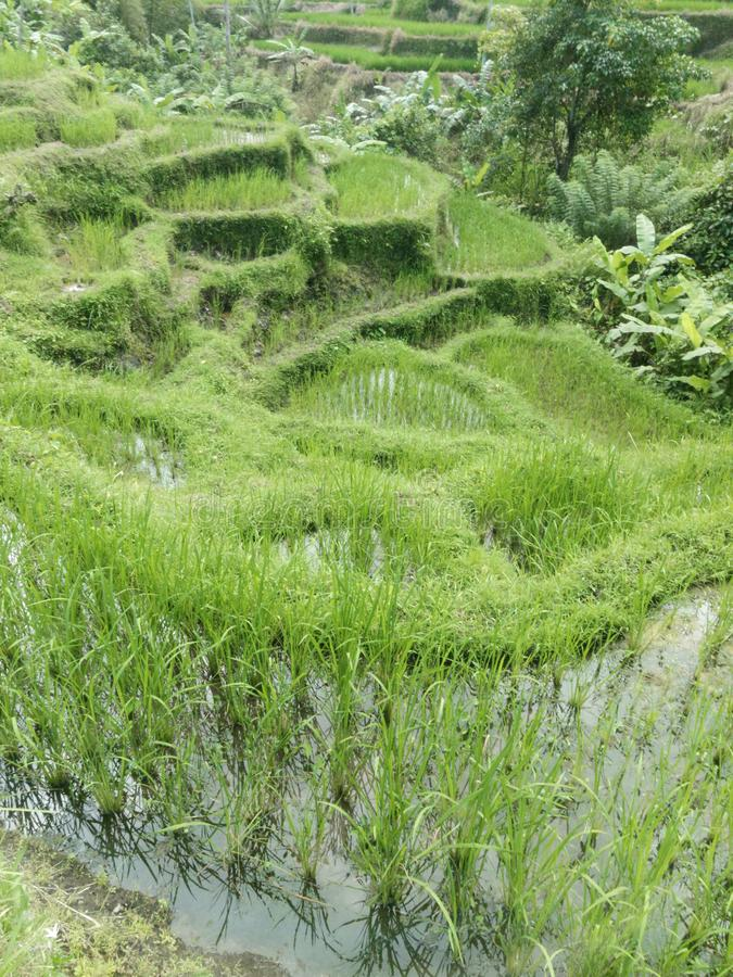 I terrazzi verdi del riso in Bali, Indonesia fotografia stock