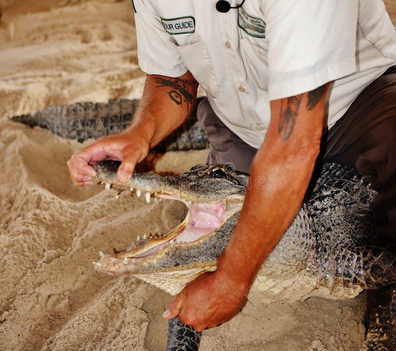 I terreni paludosi Florida S.U.A. di manifestazione della fauna selvatica dell'alligatore aprono la manovra della bocca immagini stock libere da diritti