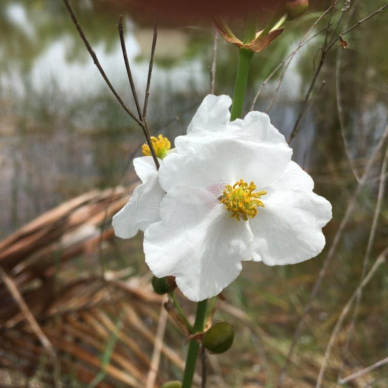 I terreni paludosi hanno nuotato le terre in fioritura di Florida dei terreni paludosi immagini stock libere da diritti