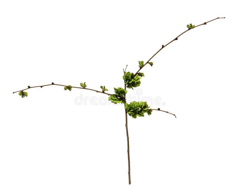 I tiri dei giovani, foglie fresche, semi non maturi verdi dell'olmo si ramificano, bl fotografie stock libere da diritti