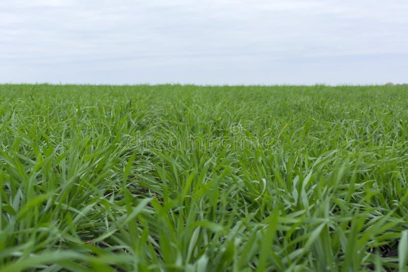 I tiri di verde di grano e di erba si sviluppano sul campo, l'autunno, l'agricoltura, Russia fotografia stock libera da diritti