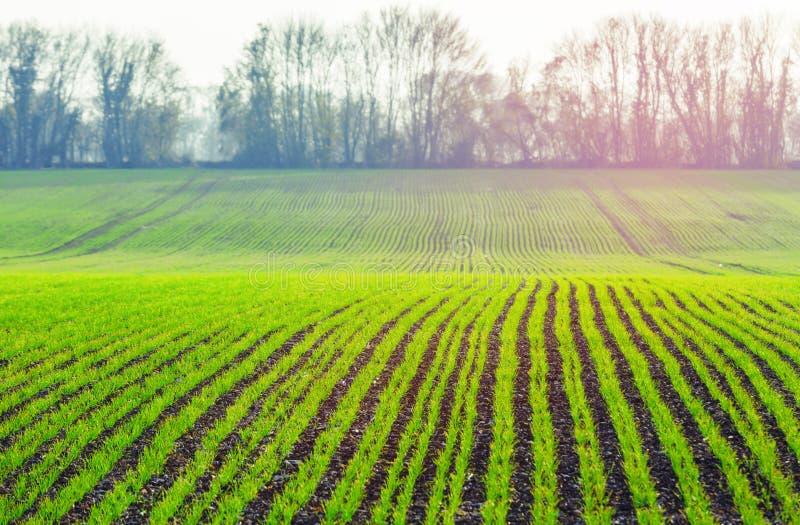 I tiri di verde di grano sull'agricoltore sistemano in primavera sedere agricole immagini stock libere da diritti