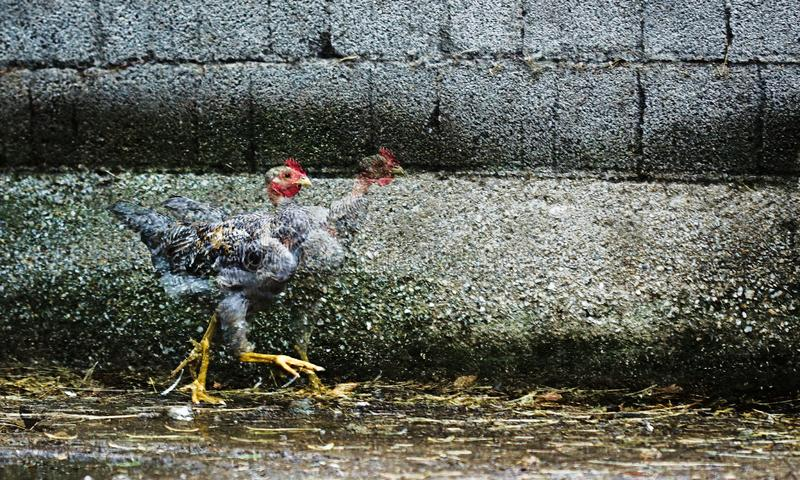 Runaway chicken. I took this photo at the farm, funny runaway chicken with double exposure royalty free stock photography