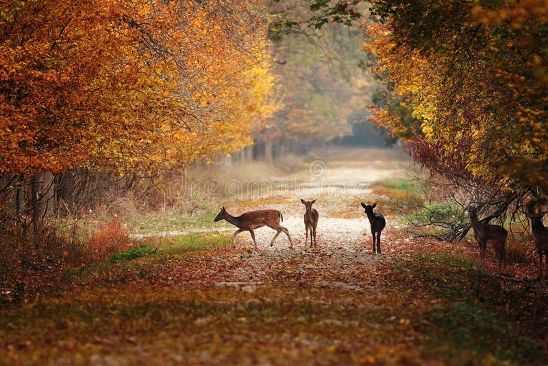 I träda deers i färgrik höstskog arkivbilder