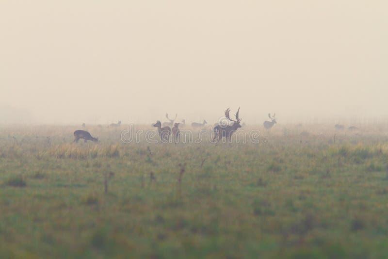 I träda deers, i att para ihop säsong fotografering för bildbyråer
