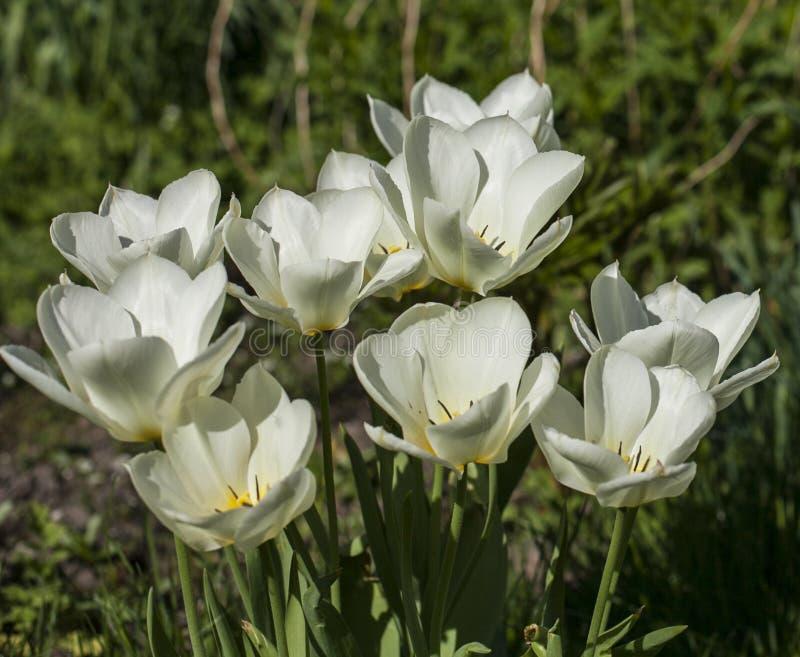 I trädgården på en solig dag - vita tulpan royaltyfri bild