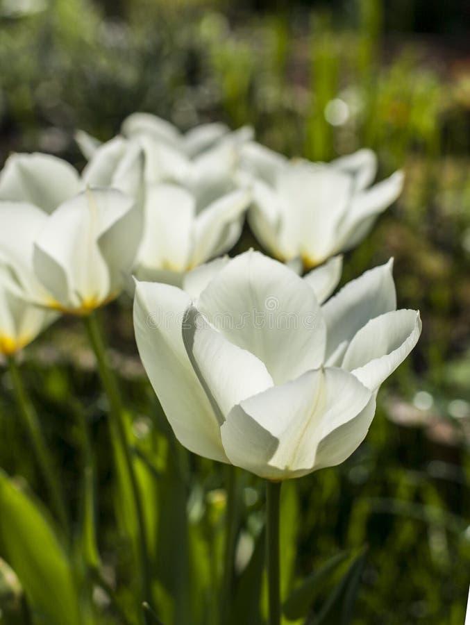 I trädgården - vita tulpan fotografering för bildbyråer