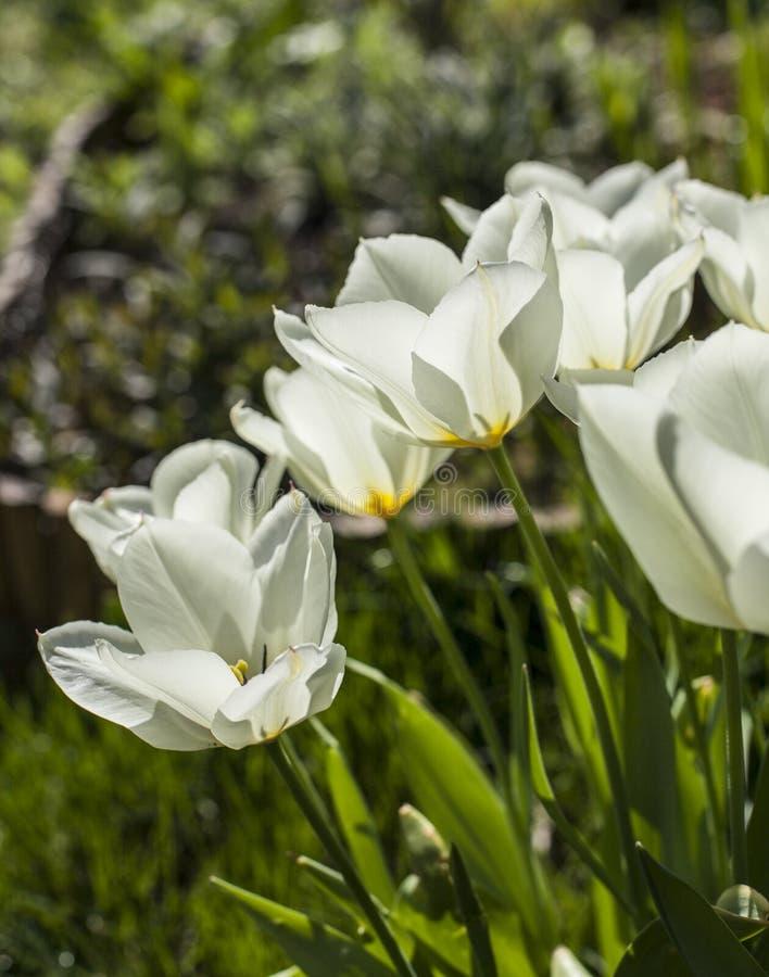 I trädgården - vita tulpan i grön omgivning royaltyfri fotografi