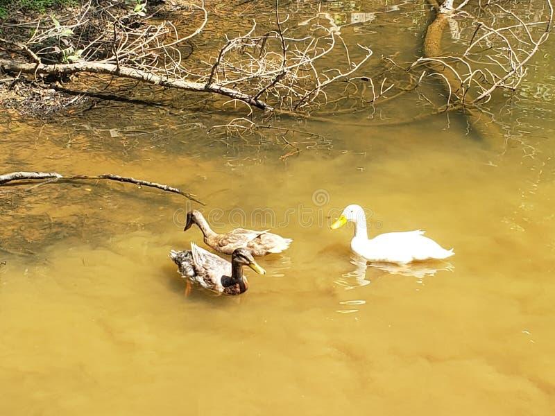 I tre quack fotografia stock