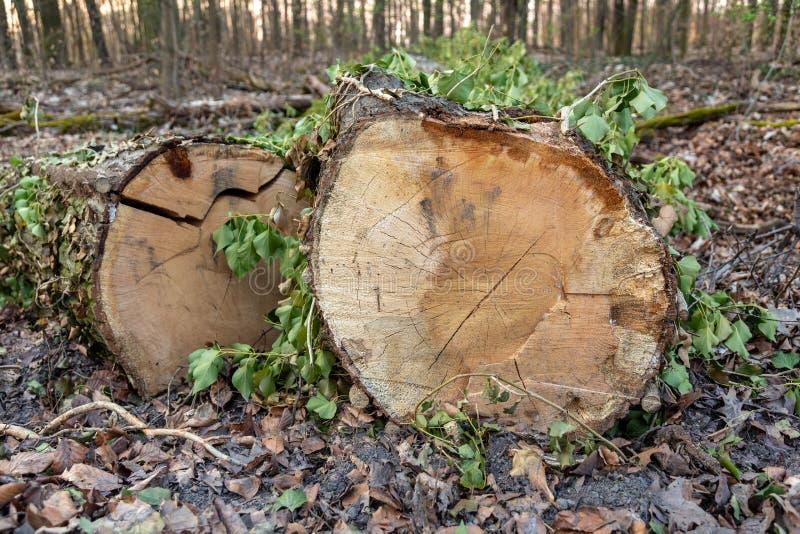 I tronchi con le foglie hanno tagliato risiedere in una foresta fotografie stock