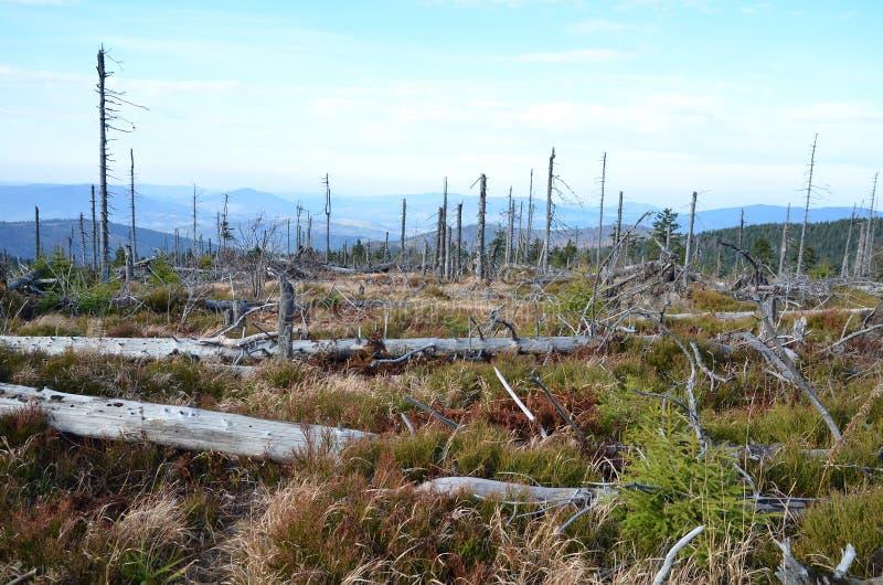 I tronchi degli alberi hanno bruciato in un incendio forestale Polonia immagine stock