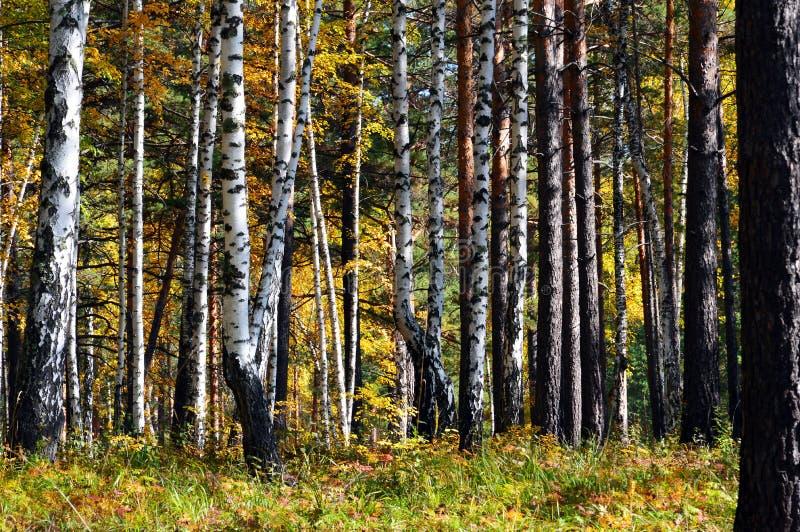 I tronchi degli alberi nel pino e nella betulla della foresta di autunno immagine stock libera da diritti