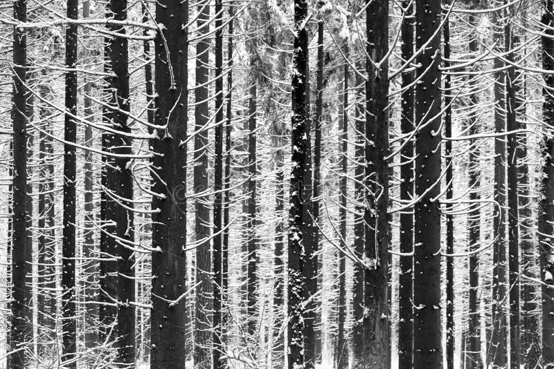 I tronchi ed i rami degli abeti coperti di neve bianca, foresta di inverno fotografie stock libere da diritti