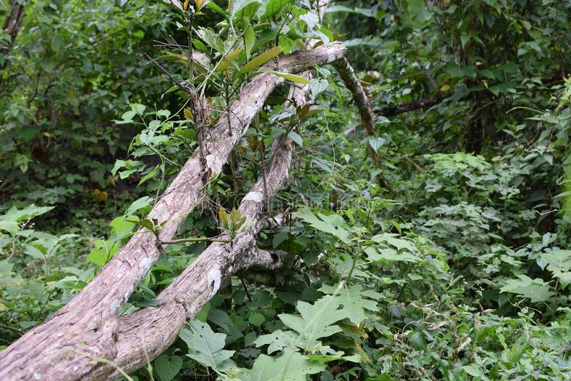 I tronchi sradicati della pianta del caffè sono caduto su una terra boscosa fotografia stock libera da diritti