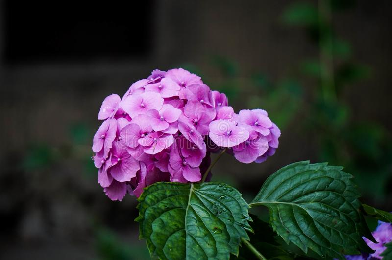 Purple hydrangea in bloom, color variation from pink to purple stock image