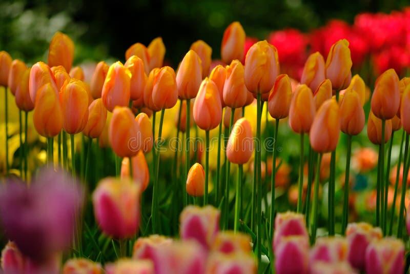 I tulipani arancio sono in piena fioritura a Keukenhof nei Paesi Bassi fotografia stock libera da diritti