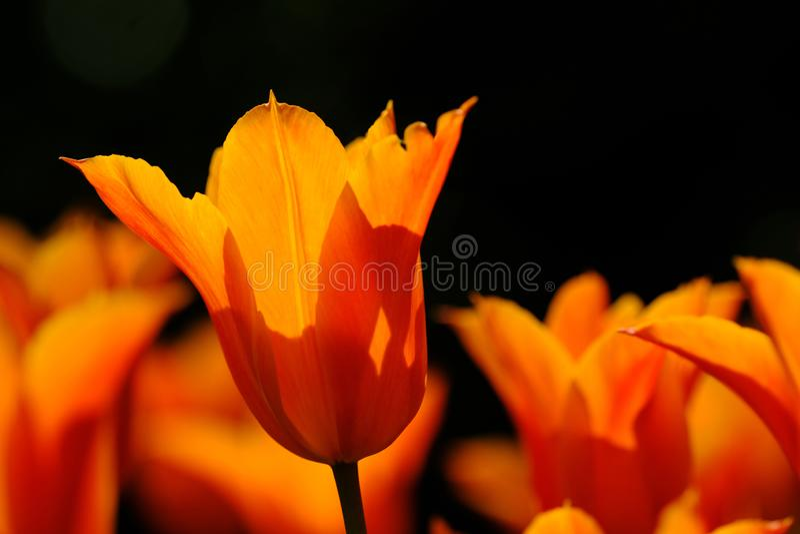 I tulipani arancio sono piena fioritura a Keukenhof nei Paesi Bassi immagini stock