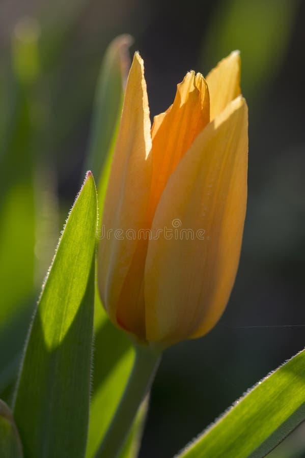 I tulipani comuni variopinti nei petali arancio e gialli del giardino, di rosso, sui gambi verdi, bella primavera fiorisce in fio fotografie stock