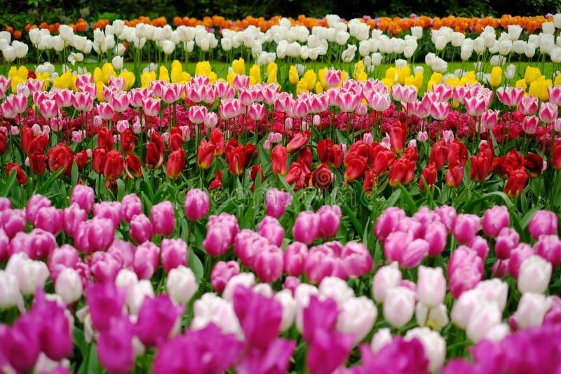 I tulipani fioriscono a Keukenhof nei Paesi Bassi fotografia stock