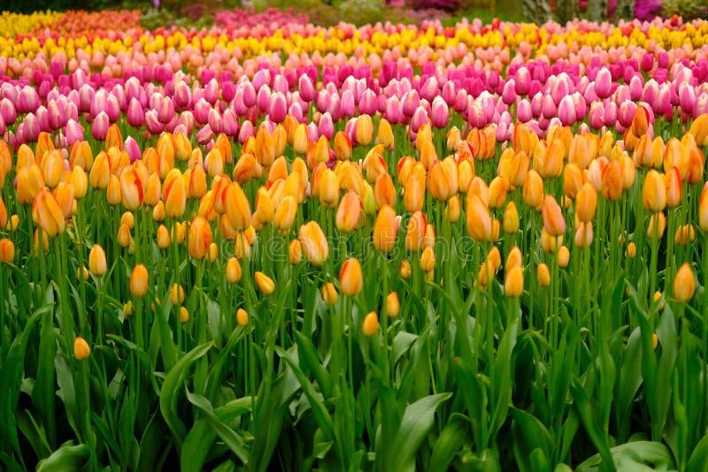 I tulipani fioriscono a Keukenhof nei Paesi Bassi fotografie stock