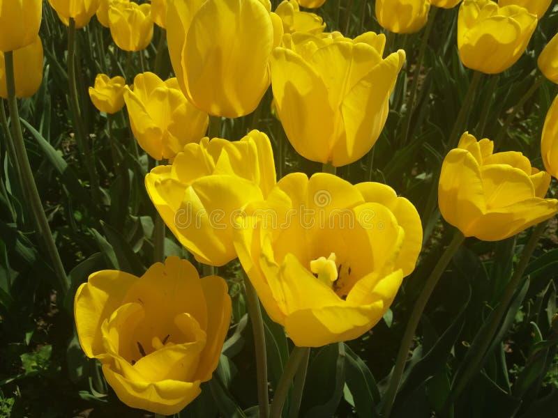I tulipani gialli fotografia stock