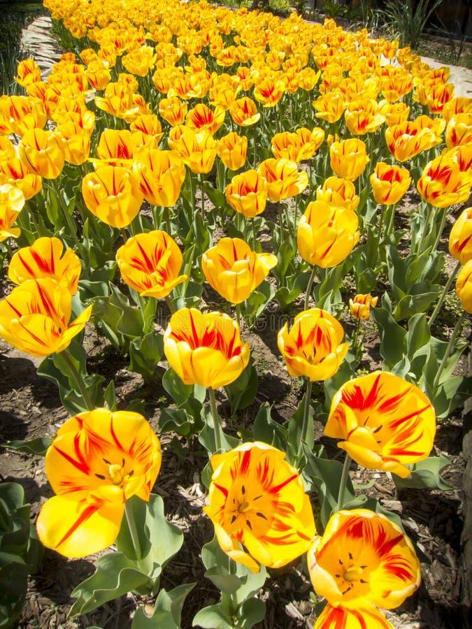 I tulipani gialli e rossi luminosi ostentano la loro primavera fotografia stock