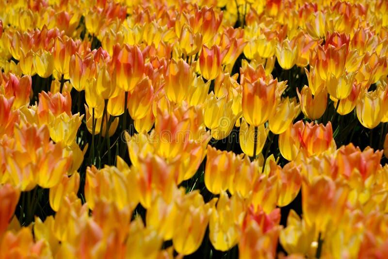 I tulipani gialli ed arancio sono in piena fioritura a Keukenhof nei Paesi Bassi fotografia stock