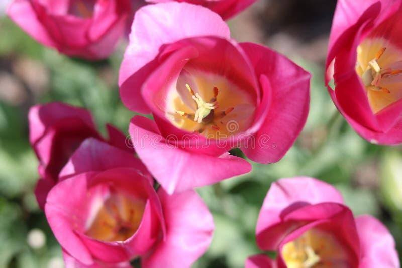 I tulipani rosa completamente si aprono fotografia stock libera da diritti