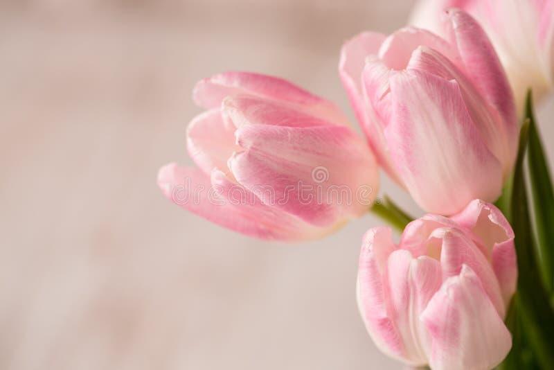 I tulipani rosa e bianchi si chiudono su con stanza per testo immagine stock