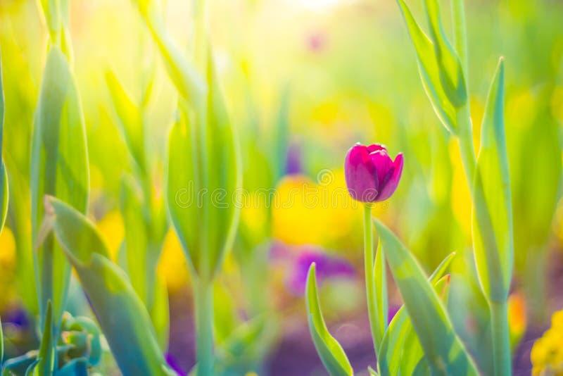 I tulipani rosa, molla fiorisce il primo piano, il fondo vago ed i dettagli variopinti fotografia stock