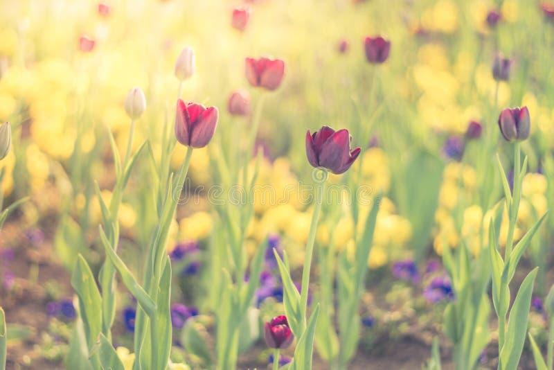 I tulipani rosa, molla fiorisce il primo piano, il fondo vago ed i dettagli variopinti immagini stock libere da diritti