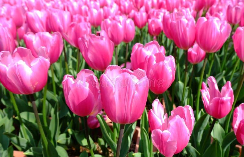 I tulipani rosa si sviluppano meravigliosamente fotografia stock