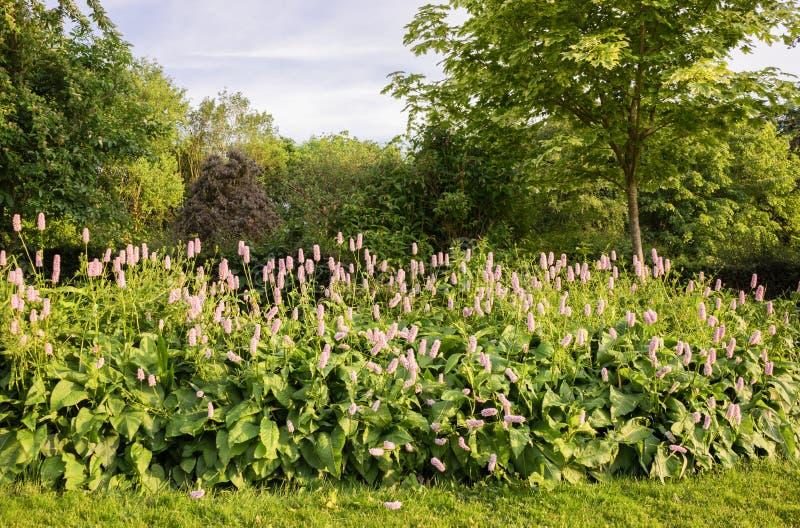 I tulipani rosa in una barriera remano nella campagna immagini stock