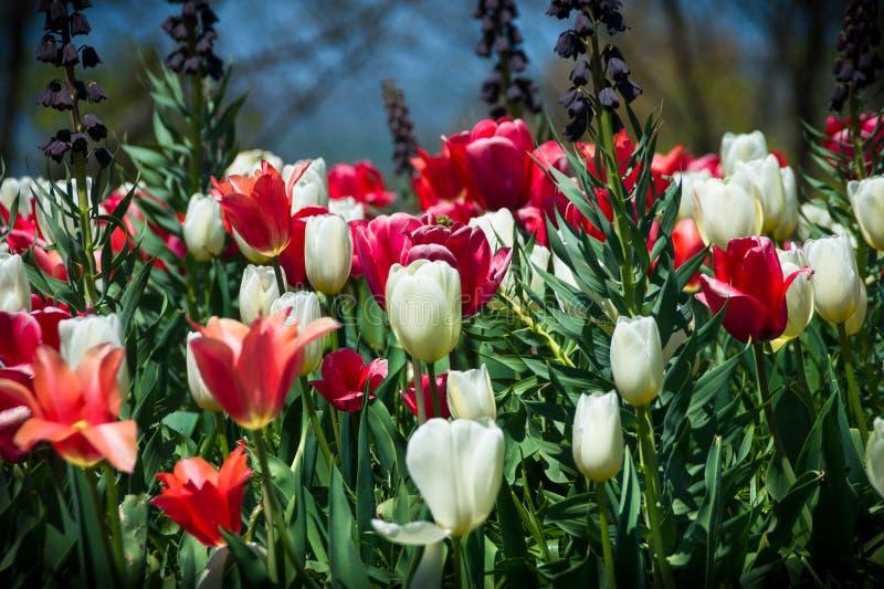 I tulipani rossi e bianchi nel ` s di Monticello Manicured il giardino fotografia stock