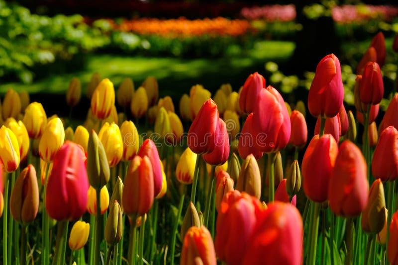 I tulipani rossi e gialli sono in piena fioritura a Keukenhof nei Paesi Bassi fotografie stock libere da diritti