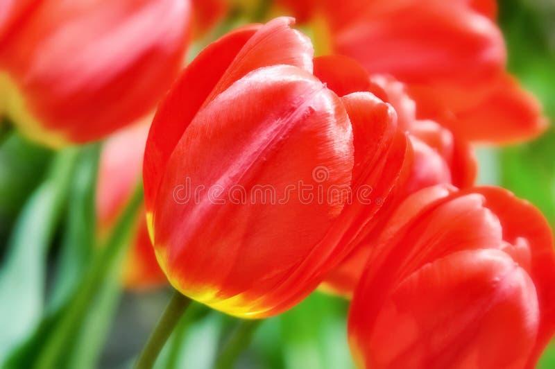 I tulipani rossi e gialli su si chiudono. fotografia stock